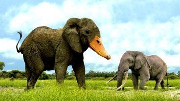 আমাদের দেশের হাতির চেয়ে দেড়গুণ বড় আফ্রিকান হাতি – Video